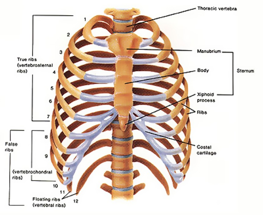 The Human Rib Structure Is Weak Functionality Of Costal Bones